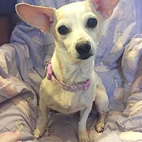 Dachshund/Chihuahua Mix Dog for adoption in Tomball, Texas - Amber