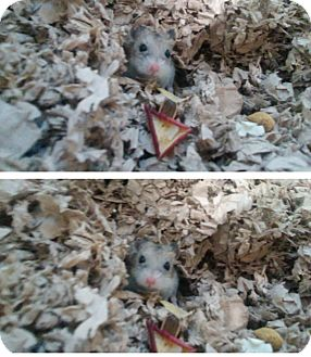 Hamster for adoption in Bensalem, Pennsylvania - Shortbread