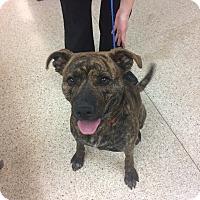 Adopt A Pet :: Allie - University Park, IL