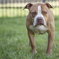 Adopt A Pet :: TYSON - Los Angeles, CA