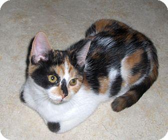 Domestic Shorthair Kitten for adoption in Richmond, Virginia - Cybil