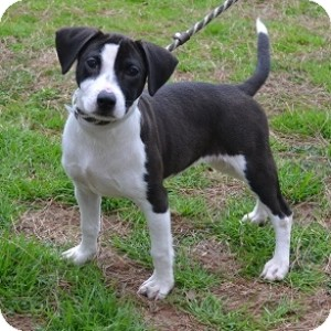 Beagle Mix Puppy for adoption in Athens, Georgia - Roxie