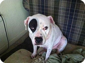 Bulldog Mix Dog for adoption in Gainesville, Florida - Chloe