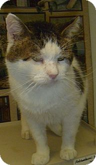 Domestic Shorthair Cat for adoption in Hamburg, New York - Big Boy