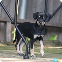 Adopt A Pet :: Maggie - Puppy - Dallas, TX