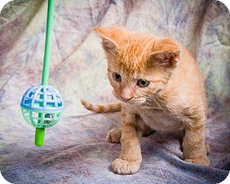 Domestic Shorthair Kitten for adoption in Anna, Illinois - SKEEMER