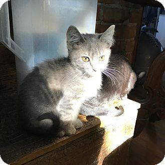 Calico Kitten for adoption in Grand Junction, Colorado - DeDe