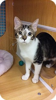 Domestic Shorthair Kitten for adoption in Manhattan, Kansas - Garfield