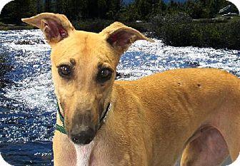 Greyhound Dog for adoption in Spencerville, Maryland - Kelci