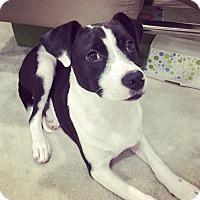 Adopt A Pet :: Shadow - Seattle, WA