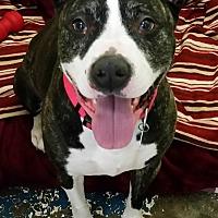 Adopt A Pet :: Missy - Franklin, NH
