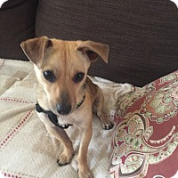 Adopt A Pet :: Cookie - Patterson, NY