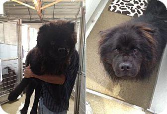 Chow Chow Dog for adoption in Marina del Rey, California - Chowder