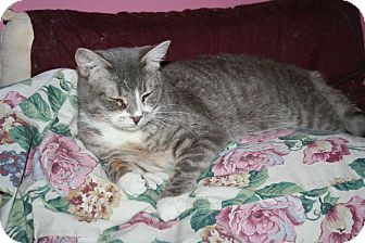 Domestic Shorthair Cat for adoption in Santa Rosa, California - Cordelia