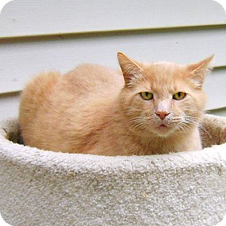 Domestic Shorthair Cat for adoption in Howell, Michigan - Jack