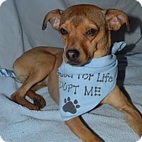 Adopt A Pet :: Darcy - Aurora, CO
