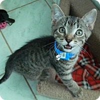 Adopt A Pet :: Lysander - The Colony, TX