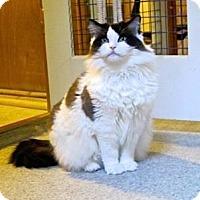 Adopt A Pet :: Gorgeous George - Davis, CA