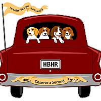 Adopt A Pet :: Where are all the beagles??? - Houston, TX