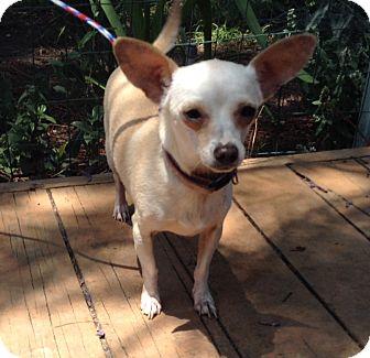 Chihuahua Mix Dog for adoption in Santa Ana, California - Bogart (6 Ibs.)