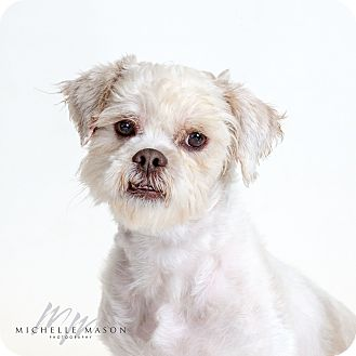 Lhasa Apso Dog for adoption in Naperville, Illinois - Tarzan