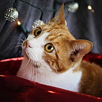 Domestic Shorthair Cat for adoption in Palmdale, California - Olivia