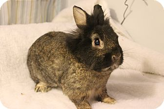 Lionhead Mix for adoption in Hillside, New Jersey - Ralphie