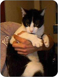 Domestic Shorthair Cat for adoption in Orlando, Florida - Mork