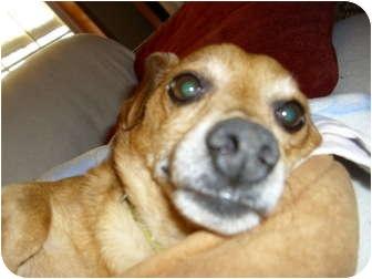Dachshund/Chihuahua Mix Dog for adoption in Lawndale, North Carolina - Skippy