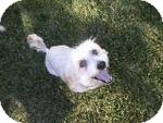 Cockapoo/Lhasa Apso Mix Dog for adoption in Simi Valley, California - Ashley