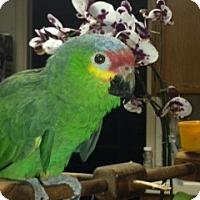 Adopt A Pet :: Nibbles - Fountain Valley, CA