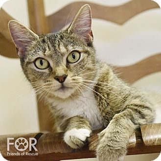 Domestic Shorthair Cat for adoption in Chattanooga, Tennessee - Pinkie Pie
