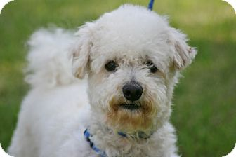 Bichon Frise/Poodle (Miniature) Mix Dog for adoption in Carlsbad, California - Jonesie