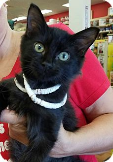 Domestic Mediumhair Kitten for adoption in Navarre, Florida - Jack