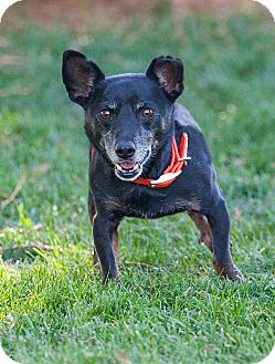Chihuahua Mix Dog for adoption in Washoe Valley, Nevada - Roger