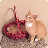 Domestic Shorthair Kitten for adoption in North Branch, Michigan - Pumpkin