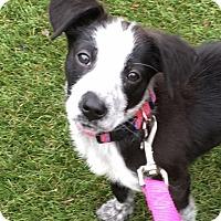 Adopt A Pet :: Rita - Schaumburg, IL