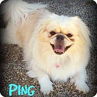 Adopt A Pet :: PING - Phoenix, AZ