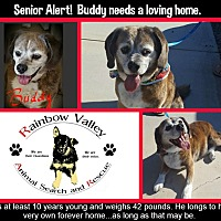 Beagle Mix Dog for adoption in Buckeye, Arizona - Buddy