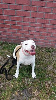 American Pit Bull Terrier Mix Dog for adoption in Pompano beach, Florida - Suzy