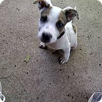 Adopt A Pet :: Joey in Houston - Houston, TX