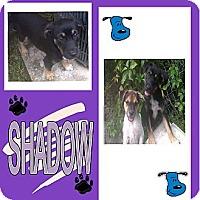 Adopt A Pet :: SHADOW - Hollywood, FL