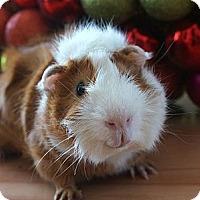 Adopt A Pet :: Butterscotch - Brooklyn Park, MN