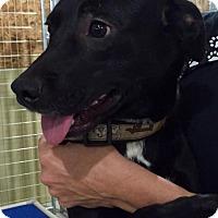Labrador Retriever Mix Dog for adoption in Beaumont, Texas - BELINI