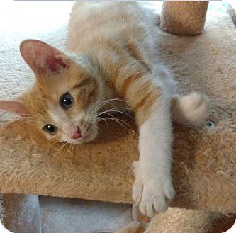 Domestic Shorthair Kitten for adoption in Des Moines, Iowa - Mars