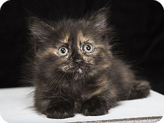 Maine Coon Kitten for adoption in Nashville, Tennessee - Gourdie