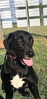 Labrador Retriever/Border Collie Mix Dog for adoption in Woodward, Oklahoma - Reese