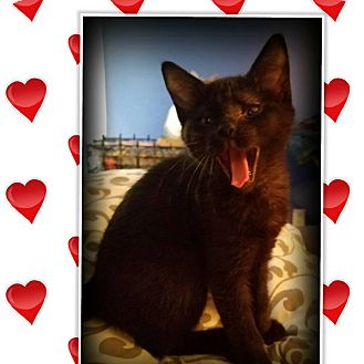 Domestic Shorthair Kitten for adoption in Mansfield, Texas - Phoebe