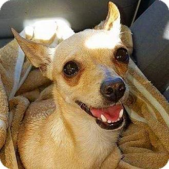 Chihuahua Mix Dog for adoption in Henderson, Nevada - Mila