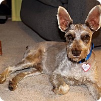 Adopt A Pet :: Max-Pending adoption - Laurel, MD